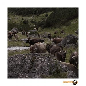 Bergpanorame Fotografie auf dem Weg zur ansbacher Hütte im Lechtal Lechtaler Alpen Landschaftsfotografie2 300x300 - Die Kühe im Tal