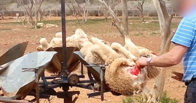 Merinowolle Schafe Wolle Fleischwucherungen Australien c PETA USA 680px 390x205 - Merinowolle  Alp(en)Traum - ein paar Worte