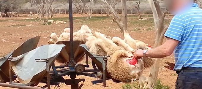 Merinowolle Schafe Wolle Fleischwucherungen Australien c PETA USA 680px e1504174027405 - Merinowolle  Alp(en)Traum - ein paar Worte
