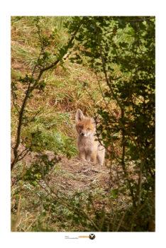 Fotografieren am Fuchsabau_junfüchse am bau fotografiert_