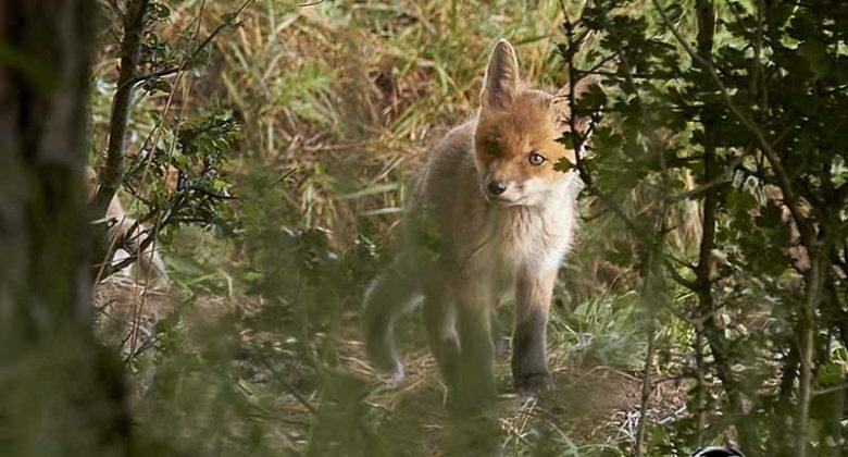 WIldlife fotograf Deutschland-füchse am bau fotografieren
