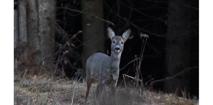 Reh im Wald Fotografieren